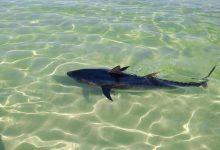 Photo of Confonen una tonyina amb una tintorera a la platja del Moll