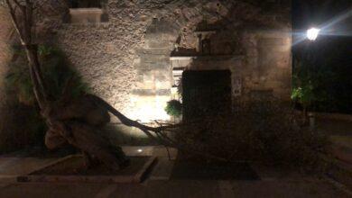 Photo of Cau un cimal de la mítica olivera del Convent